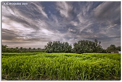 Rice farm   (A.Alwosaibie) Tags: blue sky cloud green photo nikon waves shot rice herbs farm palm ripples 2009 soe ksa d60 sigma1020mm    alhasa  nd4              aalwosaibie