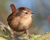 Wren (2) (Andrew Haynes Wildlife Images) Tags: bird nature wildlife wren warwickshire avian brandonmarsh canon40d carltonhide