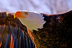 Take Off (judo_dad1953) Tags: portrait bird nature eagle pentax wildlife bald raptor justpentax