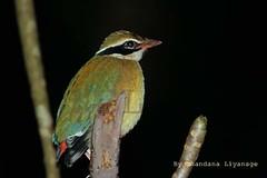 Indian Pitta....  (Avichchiya - Sri Lanka) (Chandana_Li) Tags: nature birds canon wildlife srilanka chandana indianpitta pittabrachyura liyanage canonef300mmf456isusm chandanali avichchiya