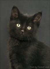 Black orphan kitten (Theresaf) Tags: cats cat blackcat nikon kitten chat tabby kittens gato breeding munchkin breed pointed tabbycat breeder munchie cattery colourpoint catfancy d80 nikond80 shortlegged