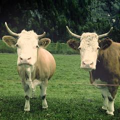 [3/30] vaca-ciones (Luis Hernandez - D2k6.es) Tags: white black color verde 30 project cow suiza retro 330 mirada marron cuernos vaca greenojos