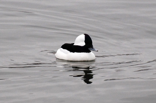Bufflehead Duck, Male