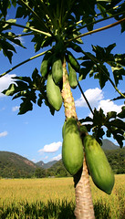 Papaya (wild teasel) Tags: fruit very popular pai northernthailand tasy