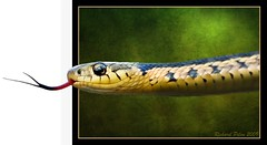 Garter Snake (Richard Pilon) Tags: green texture beautiful photoshop reptile snake textures gartersnake specanimal