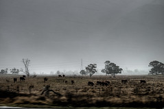 Australian snowstorm with surreal cows (nosha) Tags: beauty nikon july australia bluemountains f56 pm 2008 lightroom d300 blackmagic 18200mm 160sec 31mm nosha nikond300 australia2008 160secatf56