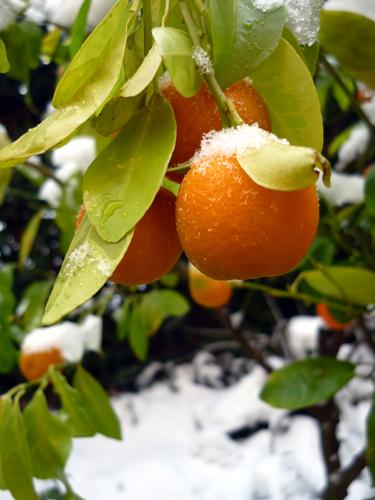 mandarino cinese sotto la neve