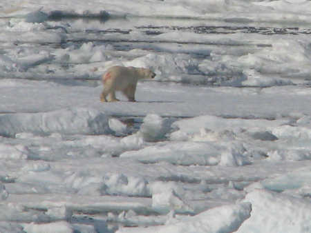 Polar Bear in Hudson Bay