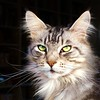 FLORIS: A Happy New Year to all my fans. Thanks for all the comments and faves you have given me last year. (Cajaflez) Tags: portrait pet cute nature animal cat kat chat longhair mainecoon katze portret gatto kater floris gati cc700 cc400 cc300 cc200 cc100 cc500 cc600 bej bestofcats kittyschoice theunforgettablepictures platinumheartaward natureselegantshots catmoments saariysqualitypictures newgoldenseal tripleniceshot