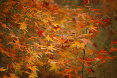 (ddsnet) Tags: plant sony taiwan autumnleaves   taoyuan autumnal 900      leaves reservoir autumn autumn reservoir leaves 900 shihmanreservoir shihman shihman
