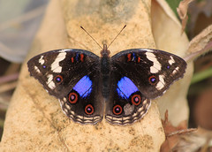 Dark Blue Pansy (Wild Chroma) Tags: butterfly pansy insects gambia oenone junonia kotu junoniaoenone darkbluepansy