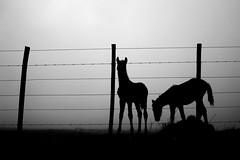 Foggy foals.