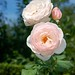Rose © 2010 Louis Trapani arttrap.com