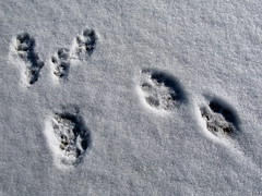 Red Fox, Grey Squirrel prints in snow