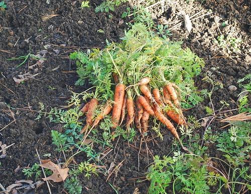 February Carrot Harvest