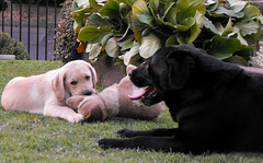 01 (pamelambada) Tags: dog puppy happy labrador perro perros doggies