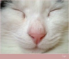 White face (sevgi_durmaz) Tags: beauty face animal cat adorable sleepy lovely whiteface kissable cuteface pamuk bestofcats platinumheartaward friendsofzeusphoebe
