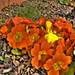 Orange_flower_HDR_by_Xtrato1988