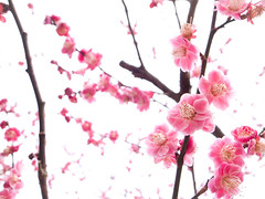 variations of ume blossoms #29 (Kitano-tenmangu shrine, Kyoto) (Marser) Tags: flower japan kyoto shrine raw ume  lightroom  grd grd3 grdigital3