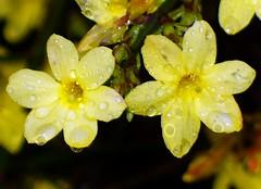 A tutti i miei cari amici di Flickr / To all my dear Flickr friends (fioresoleil) Tags: primavera giallo fiore petali pioggia gocce cespuglio diamondclassphotographer flickrdiamond goldstaraward