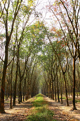 Leafy path (-clicking-) Tags: autumn trees sunlight nature leaves sunshine landscape natural path perspective vietnam aley leafypath rngcaosu