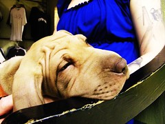 (*D' Reina*) Tags: dog brown animal puppy cafe mastiff lola cachorro neo mascota neapolitan