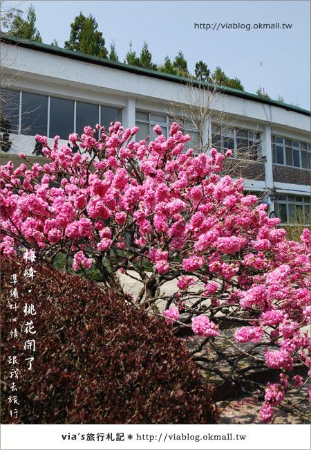【梅峰農場桃花緣】最美的桃花隧道,就在南投梅峰這裡~(上)39