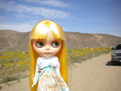 Wildflower blooming in Anza Borrego desert