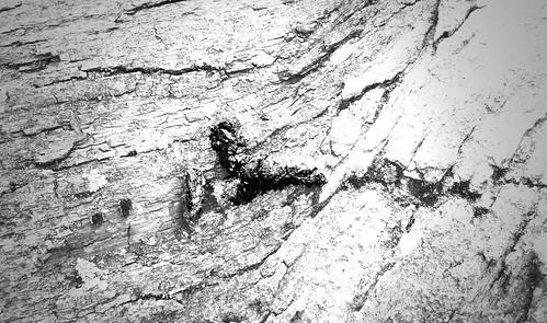 coyote scat on white oak 1