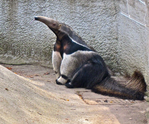 Giant anteater by ellenm1, on Flickr