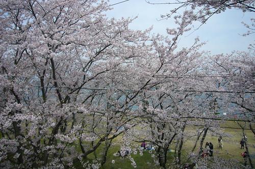 走水水源地の桜2