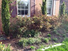 pruned back knockout roses