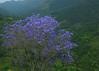 Purple Valley (Naseer Ommer) Tags: trees canon flora purple kerala jacaranda munnar teaestates canon28135mm purplevalley teacountry naseerommer jacranda concordians canoneos5dmarkii discoverplanet