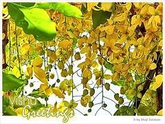 Vishu Greetings (shaji sarasan) Tags: flower yellowflower greetings vishu cassia cassiafistula fistula vishukani kanikonna