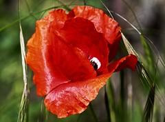 papavero rosso dall'occhio furbetto! (lucia bianchi) Tags: red flower eye nature fleur flora natura oeil fiore rosso occhio papavero