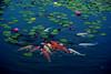 Water Lily and Carp (h orihashi) Tags: flowers nature japan pond pentax hiroshima 日本 carp 風景 広島 naturesfinest blueribbonwinner coth bej k10d pentaxk10d diamondclassphotographer flickrdiamond citrit cherryontopphotography damniwishidtakenthat