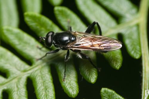 Brachypalpoides lentus