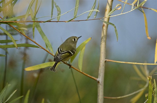 A Kinglet, Ruby-crowned!