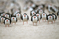 Clone Army (Nikographer [Jon]) Tags: blackandwhite black bird fall beach birds animal animals niger nikon october oct 2009 skimmer tweet d300 blackskimmer rynchopsniger tnc thenatureconservancy nikographer twitter blackskimmers rynchops avianexcellence nikond300 tweeted imagesforblog1 20091012d30078105 2009fav1 wsop1
