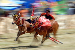 KARAPAN SAPI (Claude  BARUTEL) Tags: boy race speed indonesia competition file bull tradition madura sapi karanpan