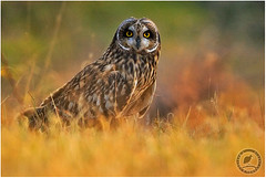 Short eared owl (wildlens) Tags: trip travel sunset vacation india holiday nature sunrise photography photo nikon photos  portfolio jadeja manjeet yograj ourfavourites manjeetyograjjadeja