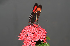 IMG_0201-1.jpg (David Freuthal) Tags: red flower butterfly insect ma massachusetts newengland magicwings canonefs60mmf28macrousm southdeerfieldma ctflickrmeetup