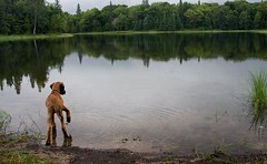eww. water. (backpackphotography) Tags: dog lake water puppy pond rr rrr pup ridgeback ridgebacks rhodesianridgeback cautious enzi fastidious lionhunter ridgeless backpackphotography cautiousness ridgelessrhodesianridgeback rhodesianridgeless lionhuntingdog