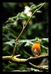 robin1 (M*I*K*E) Tags: nottingham uk red england tree bird mike robin photography breast wildlife sutton ashfield rufford nottinghamshire swanwick