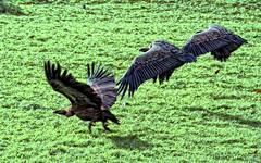 Buitres (Urugallu) Tags: aves navarra buitres carroeros thesuperbmasterpiece urugallu theoriginalgoldseal