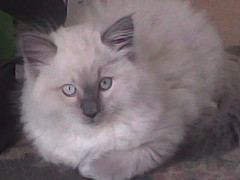 Ragdoll kitten (khan) (Robbie-xps) Tags: white cat grey kitten soft pussy fluffy ragdoll georgeous