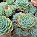 echeveria secunda glauca-Metal