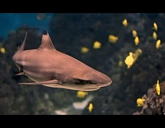 Carcharhinus melanopterus (Francisco Snchez) Tags: barcelona fish pez aquarium shark peligro picnik aquariumbarcelona tiburon blacktipreefshark carcharhinusmelanopterus tiburondepuntonegra franxyz