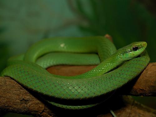 Cobra Cipó