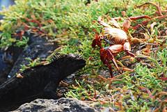 Galapagos Islands-255 (Tristan27) Tags: wild southamerica america ecuador wildlife crab galapagos iguana roundtheworld marineiguana galapagosislands sallylightfootcrab southplaza